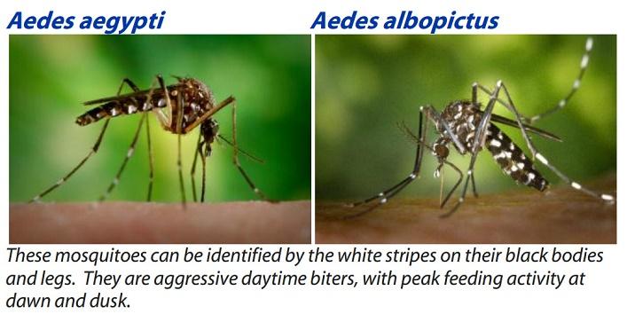Dengue and Chikungunya2