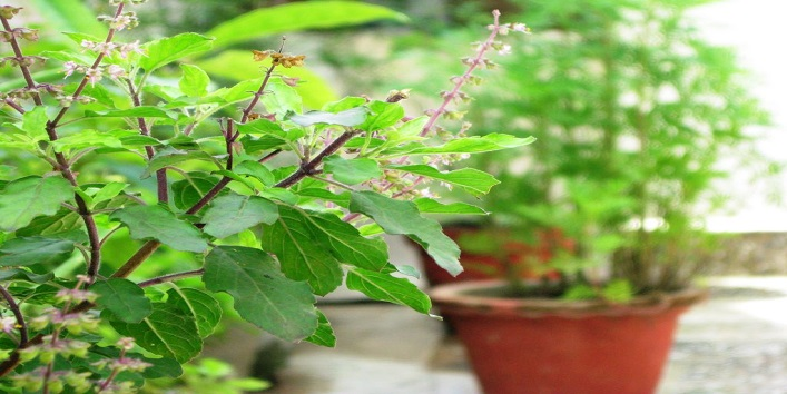 Tulsi Leaves to Make Your Immune System Stronger