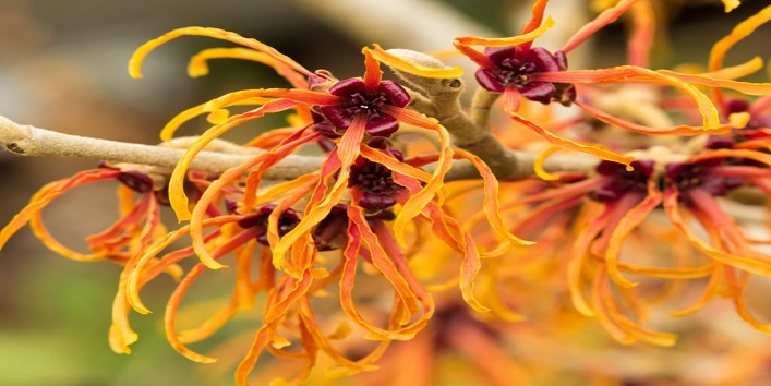 Combat-signs-of-ageing-by-using-witch-hazel